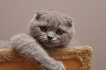 Perfiles: Conoce al gato Scottish Fold