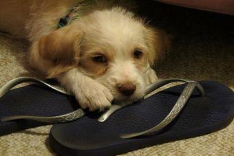 Cachorros destructores: Tips para controlar a tu perro