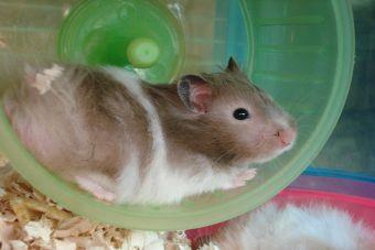 Conoce cinco diferentes razas de hamster