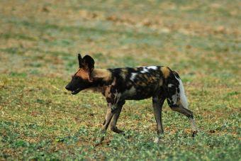 Ley de Caza: Modificación permitiría nuevamente la caza de perros asilvestrados