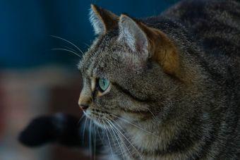 Un hombre vietnamita fue arrestado por comerse al gato de su vecino en Alemania