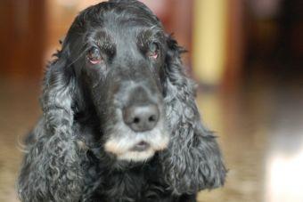 Trastornos oculares en perros