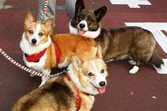 Perfiles: Perros Corgis