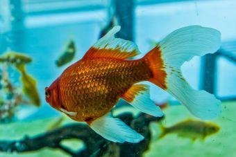 Hombre pagó más de 200 mil pesos en operación que salvó la vida de su pez dorado