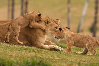 Jugando con leones salvajes: Kevin Richardson, el amo de Lion Park