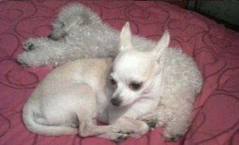 Perfiles: Perros Chihuahua