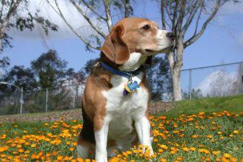 Perfiles: Todo sobre los Beagles
