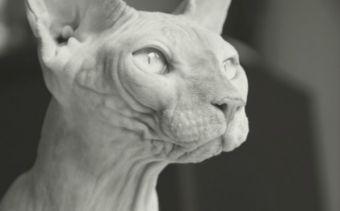 Las 10 razas de gatos más extrañas