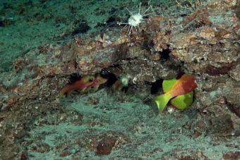"""""""El Chilito"""", una nueva especie de pez bautizada por un concurso de National Geographic"""