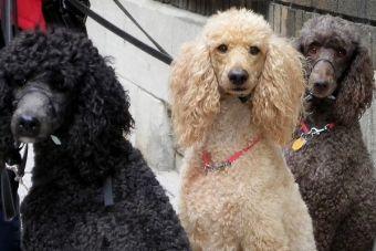 Perfiles: el clásico Poodle