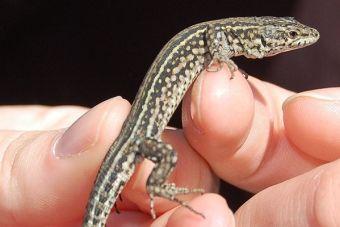 Cuidados de las lagartijas como mascotas