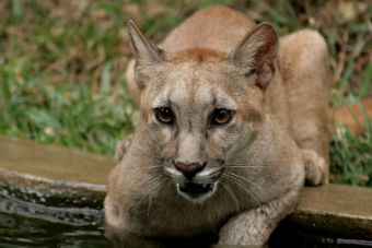Puma que visitó a familia en Lo Curro será trasladado a su nuevo hogar