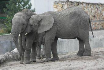 Estudio: Elefantes asiáticos se consuelan igual que las personas cuando están estresados