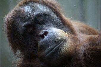¡Horrible! Orangutanes son traficados y prostituidos en el Sudeste Asiático