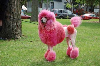 La moda de teñir el pelo de las mascotas
