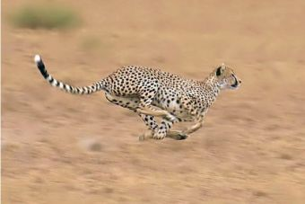 ¿Sabías que el guepardo ya no es considerado el animal terrestre más rápido?
