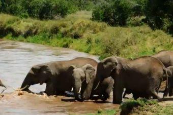 Elefantes salvan a pequeña cría a punto de ahogarse en un río de África