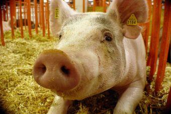 Tomando conciencia sobre el maltrato hacia los cerdos de crianza (video)