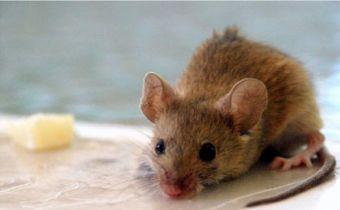 ¿De verdad los ratones comen queso?