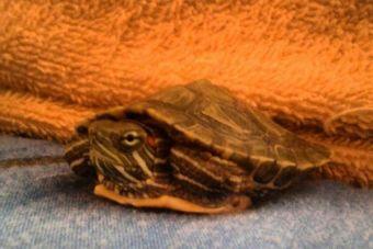 ¿Las tortugas son fomes?