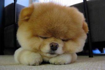 Cachorros Pomerania, ¡imposible no derretirse ante ellos!