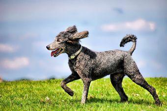 Razas de perros que no pelechan