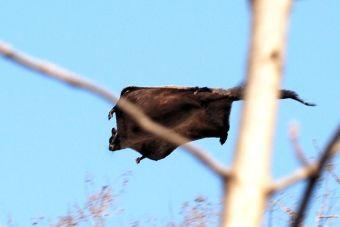 Mascotas exóticas: Flying Squirrel (ardilla voladora)