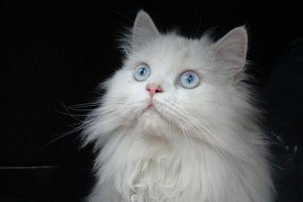 10 razas de gatos más juguetonas