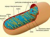 PSU Ciencias - Técnico Profesional: Mitocondria
