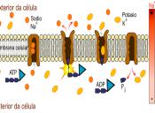   Preguntas PSU de Ciencias: concentración de iones de potasio y sodio