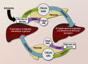 Preguntas PSU de Ciencias: regulación hormonal de la glucemia