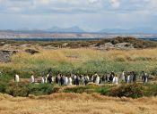 Recorriendo Chile: Parque Pingüino Rey, Bahía Inútil. Tierra del Fuego.