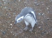 Isla Magdalena, una travesía en busqueda de pingüinos en el extremo Magallánico.