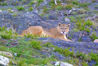 Turismo Natural: el Puma de la Patagonia, animales de Chile.