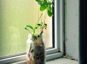 #ViejazoUniversitario: El experimento de plantar un poroto en un vaso