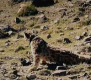 Snow Leopard protection cover image
