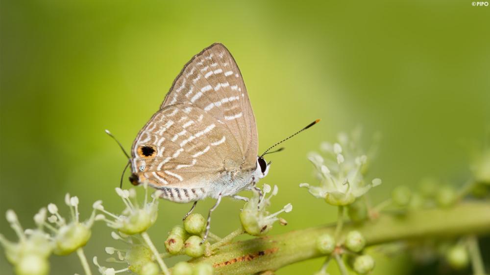 bay frunze de la varicoză varicoză în pelvis mici la femei