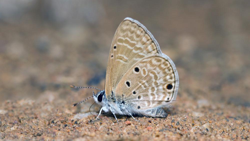 Papilloma dorso lingua Cicluri de difildobotriază