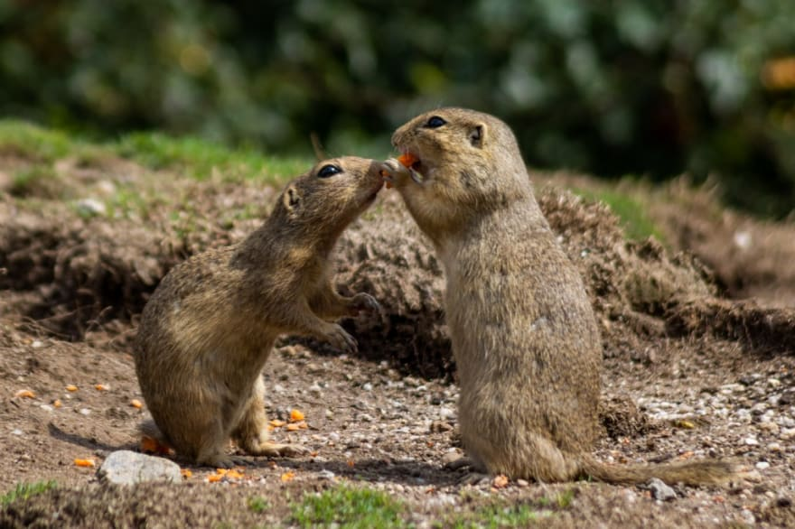 Two generic gophers