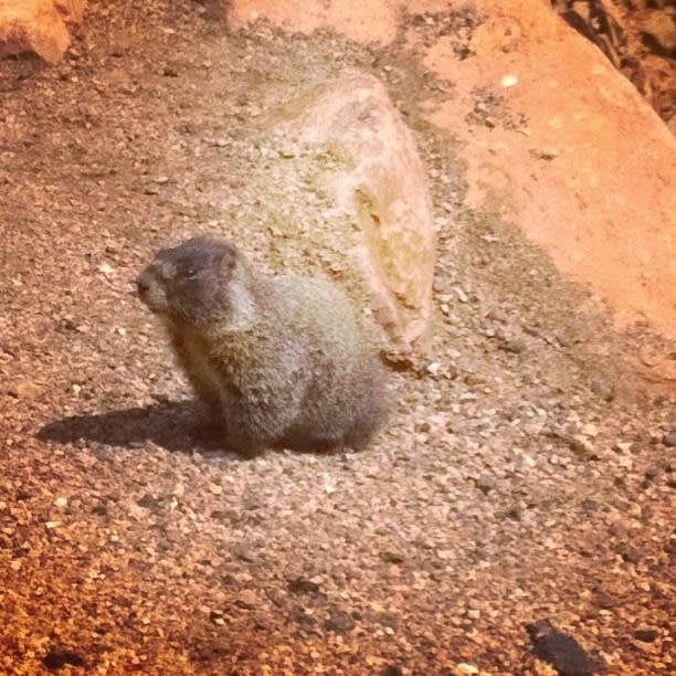 Picture of a marmot standing on a mountain top