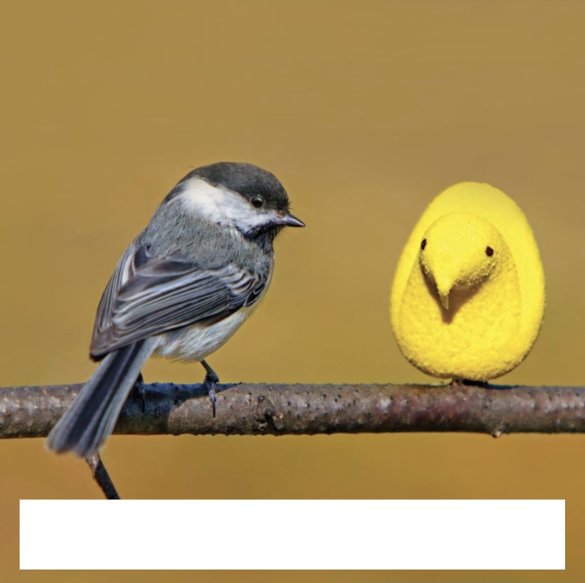 One real bird on a branch with a blank text box next to a Marshmallow Peep candy with a blank text box