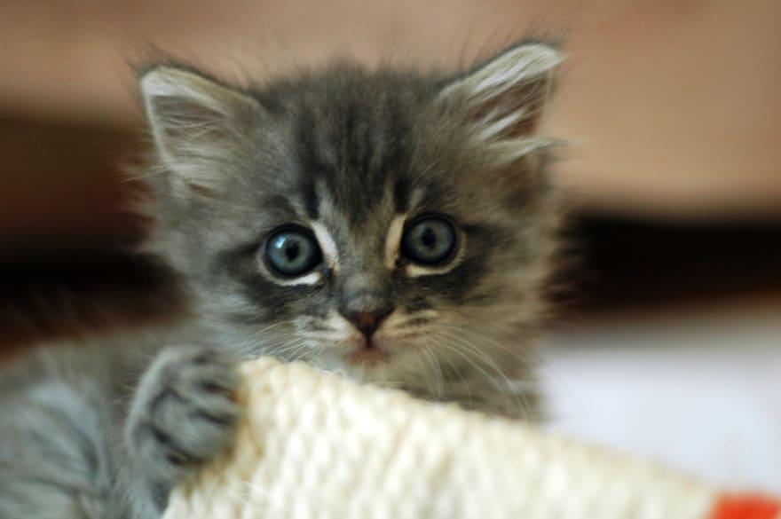 Post-mathematics kitten - CC Wikipedia
