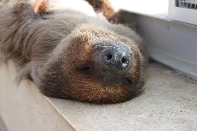 Two-toed sloth sleeping