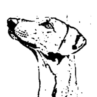 azawakh profile