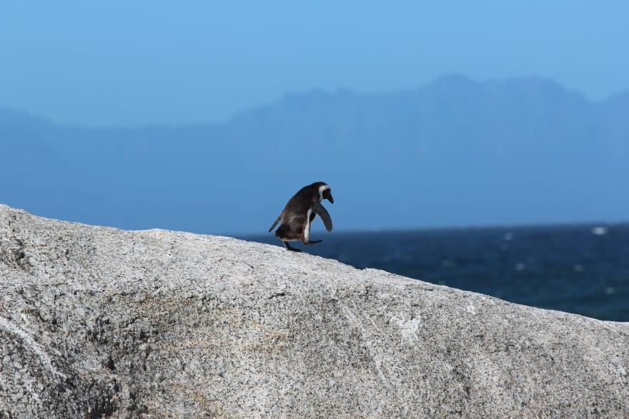 Penguin walks on rock