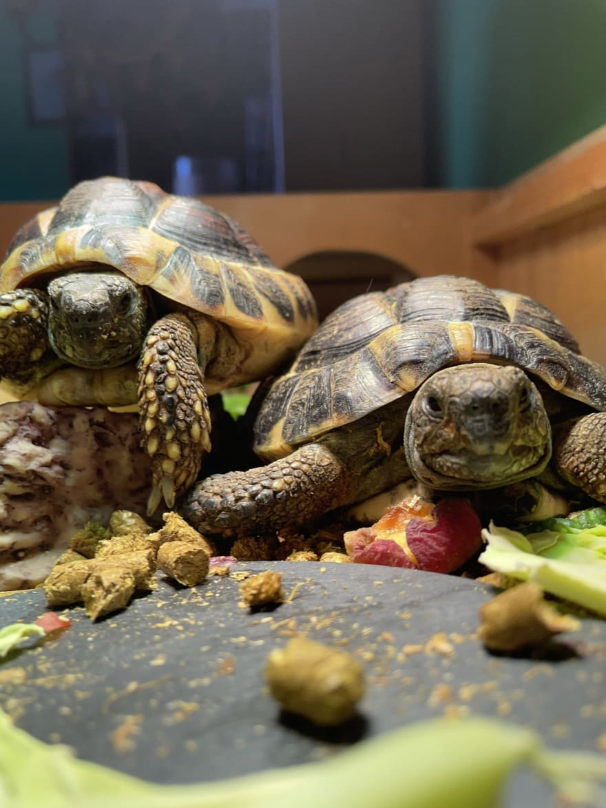 Two tortoises, one sitting on top of the other