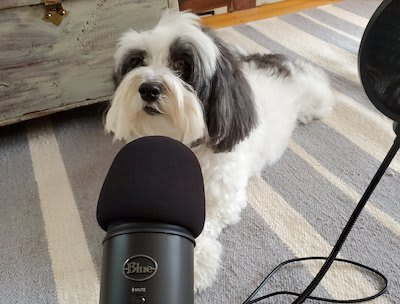 Lola the Micropanda, an adorable black and white Havanese pupper who looks like a panda, sitting in front of my podcast microphone