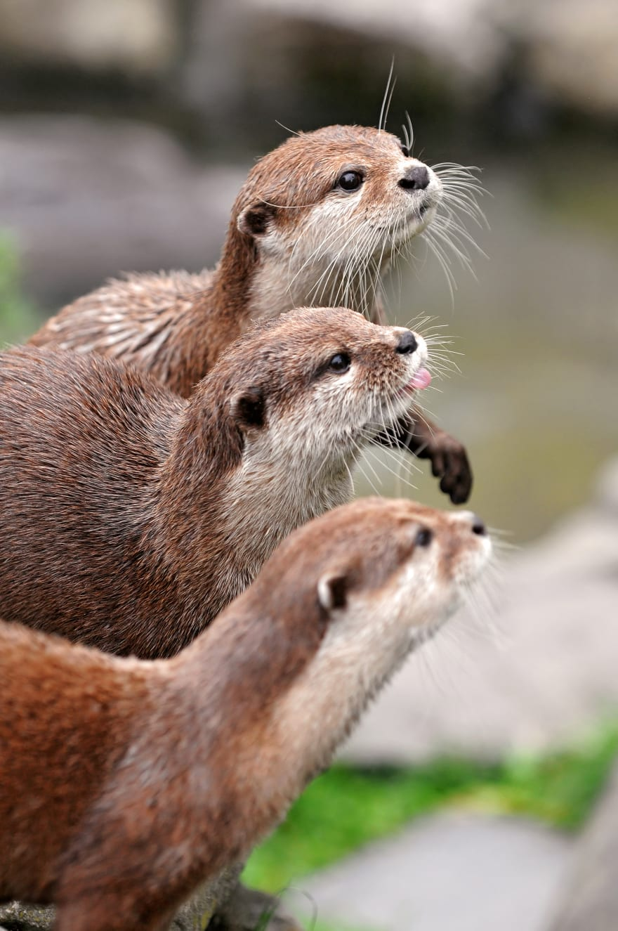 Three Otters