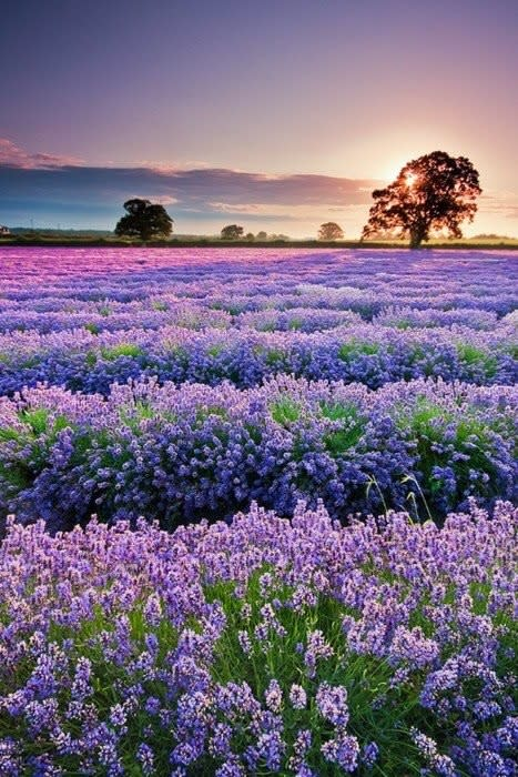 A field of lavender with the sun setting behind a tree