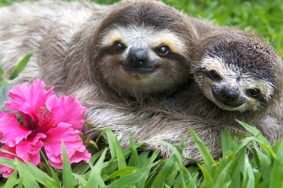 Two sloths hanging just hanging out having some tasty hibiscus flowers